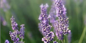 The Colour Purple - Analysing the future of lavender