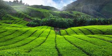 Closer to the leaf: tea growers in China