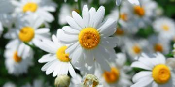 Ingredient Insight: English Chamomile