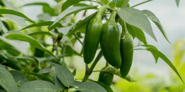Ingredient Insight: Jalapeno