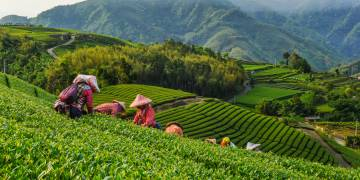 Tea Gardens Around the World