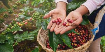 The journey of the coffee bean: from seed to cup in 9 steps