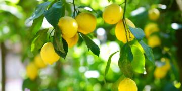 Varietal Focus: Lemon