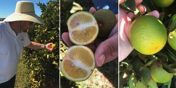 What is Citrus Greening?